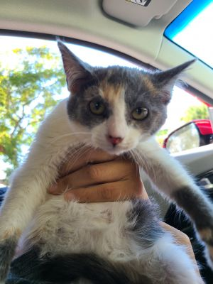 Chanel Calico Cat