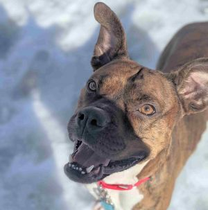 Meet Rocky a handsome 4-year-old boxer mix ready to find his forever home He weighs 49 lbs and has