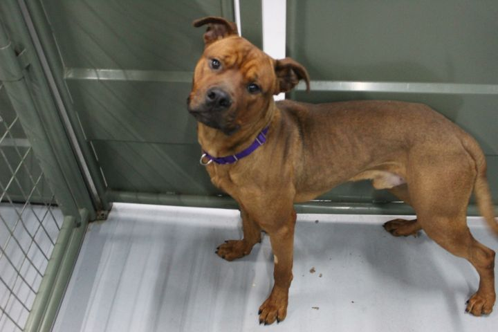 Rocket, an adoptable Staffordshire Bull Terrier Mix in Colorado Springs, CO