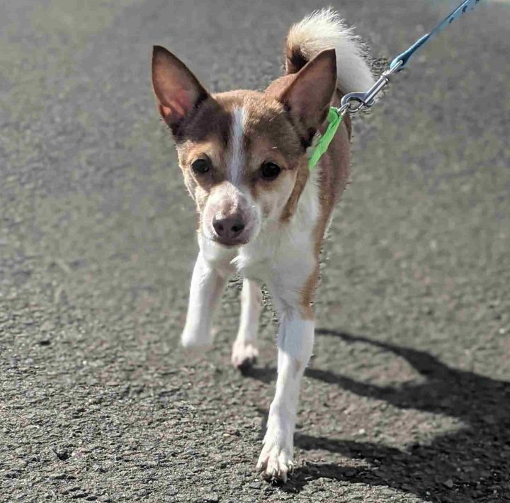 Ned, an adopted Chihuahua Mix in Danbury, CT
