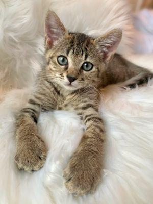 Nelson Tabby Cat