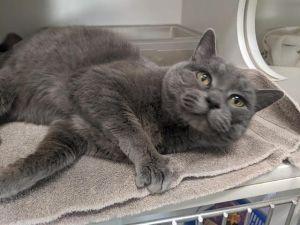 OFELIA Domestic Medium Hair Cat