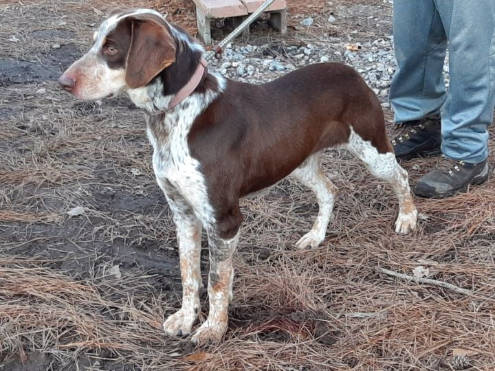 Clydesdale, an adoptable German Shorthaired Pointer Mix in Clayton, NC