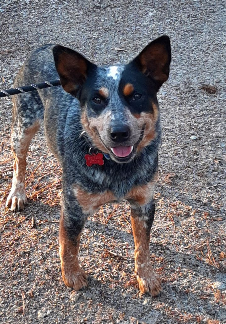 Ricky, an adoptable Australian Cattle Dog / Blue Heeler Mix in Clayton, NC
