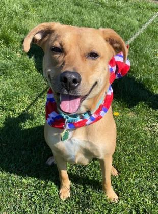 HoneyBee, an adoptable Boxer & Retriever Mix in Clarks Summit, PA