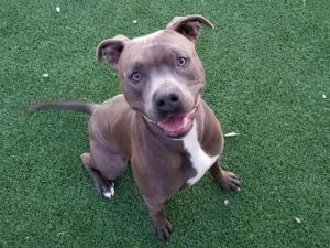 A767380 Pit Bull Terrier Dog