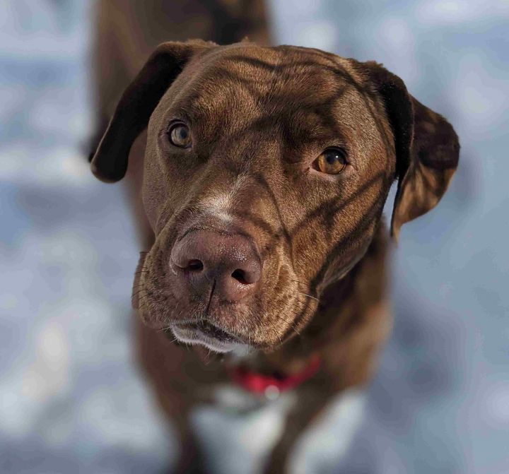 Diesel, an adopted Labrador Retriever Mix in Danbury, CT