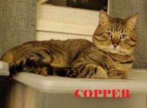 Copper (Petco La Habra) Tabby Cat