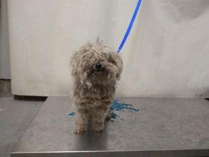 PRINCESS BARBIE Maltese Dog
