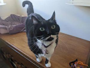 JOSIE Domestic Short Hair Cat