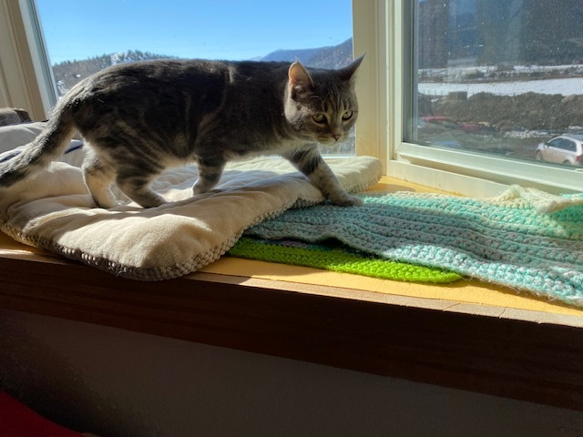 Mabel, an adopted American Shorthair in Ridgway, CO