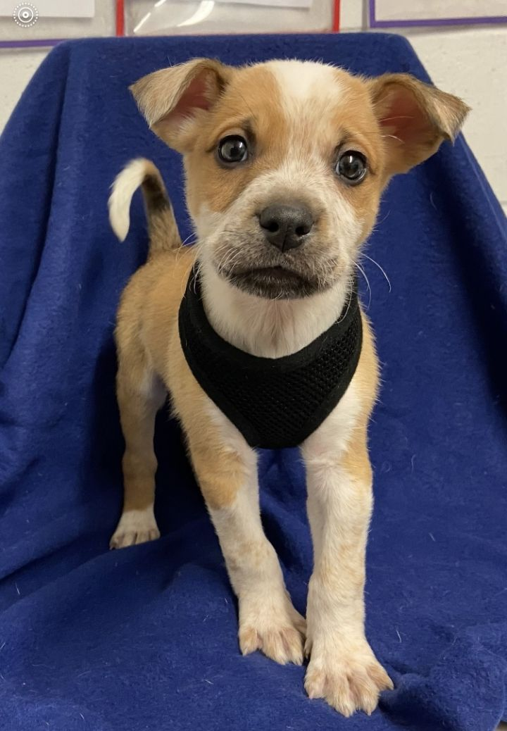 Graham, an adopted Australian Cattle Dog / Blue Heeler & Terrier Mix in Uvalde, TX