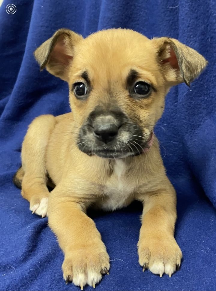 Marshmallow, an adopted Black Mouth Cur & Australian Cattle Dog / Blue Heeler Mix in Uvalde, TX