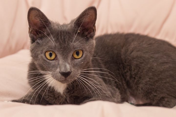 Chancey, an adoptable Domestic Short Hair Mix in Ponte Vedra, FL