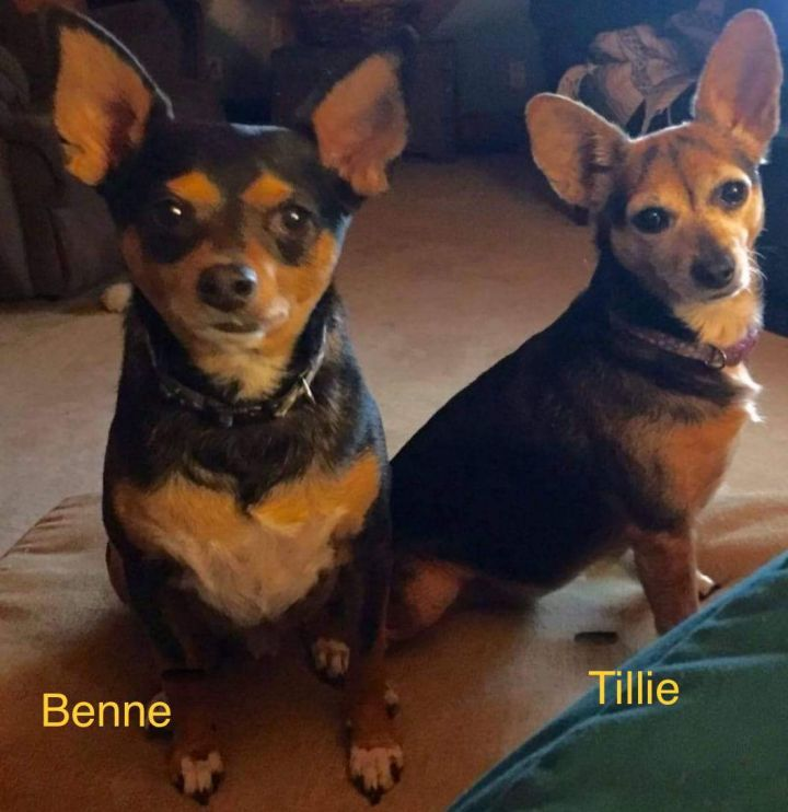 Tillie, an adoptable Chihuahua & Dachshund Mix in Mentor, OH_image-2