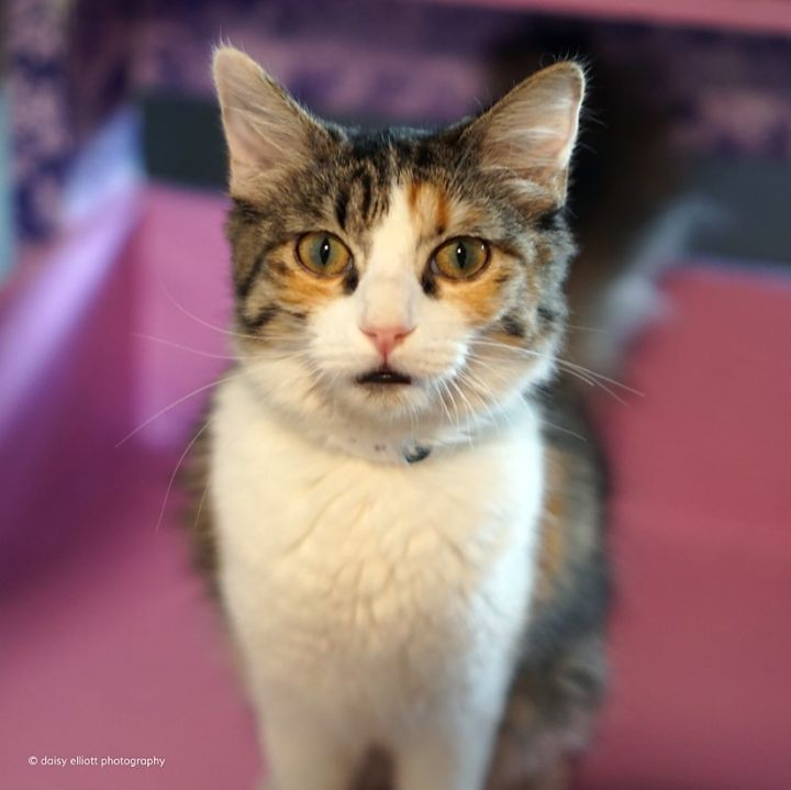 Tarah, an adoptable Domestic Medium Hair in Tucson, AZ