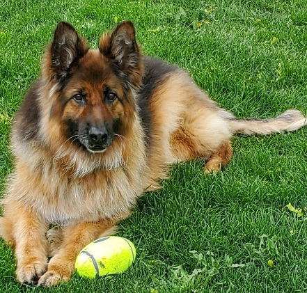 Spark, an adoptable German Shepherd Dog in Chicago, IL