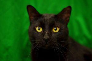Reeve - 1960/I45 Petsmart Domestic Short Hair Cat