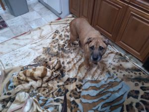 SPECIAL NEEDS - Lady is deaf Fully vaccinated spayed female Adoption Fee 100 Sweet Senior Sharpei