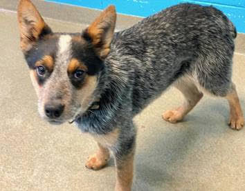 Moochie, an adopted Cattle Dog Mix in Rockville, MD_image-1