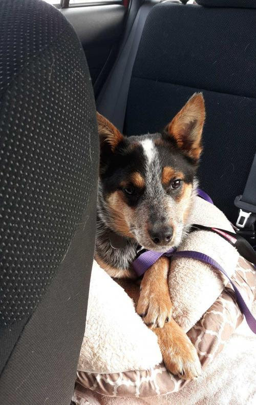 Moochie, an adopted Cattle Dog Mix in Rockville, MD_image-2