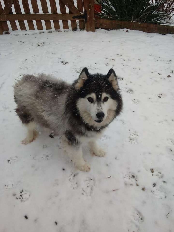 Maggie Mae, an adoptable Husky in Gettysburg, PA_image-1