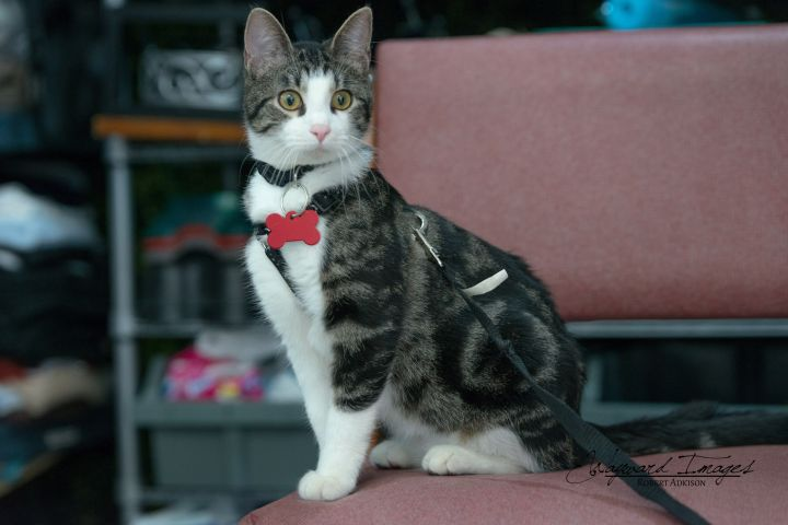 Issac, an adoptable Domestic Short Hair Mix in Springfield, MO