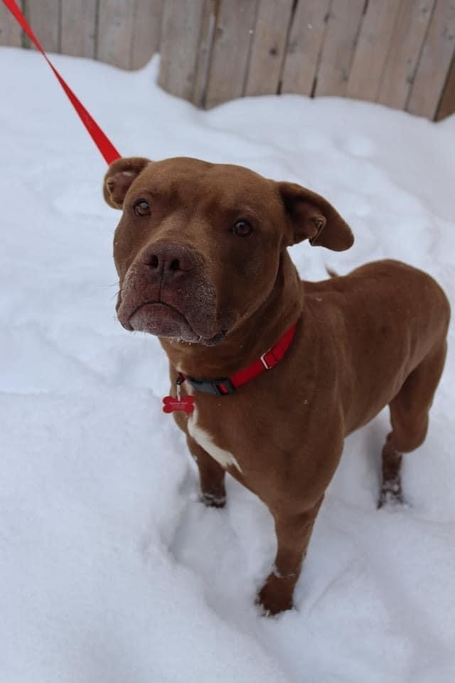 Contento, an adoptable Pit Bull Terrier Mix in Springfield, MO