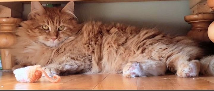 Marley, an adopted Domestic Long Hair in Enfield, CT_image-2