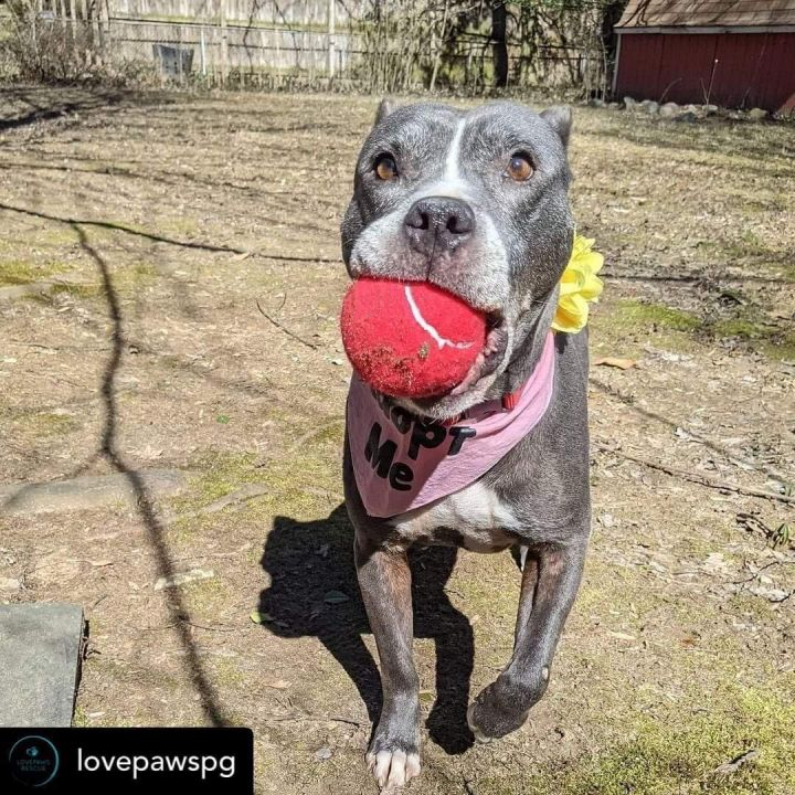 Lady, an adoptable Pit Bull Terrier in Rockville, MD_image-2