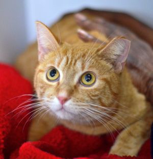 Tony is a handsome 1-2 year old orange male cat He is a bit shy at the adoption center but