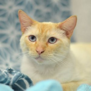 Man with attitude This Flame Point Siamese boy has all the right things to make him the true man of