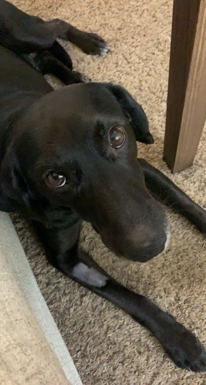 Cooper, an adoptable Labrador Retriever Mix in Minneapolis, MN