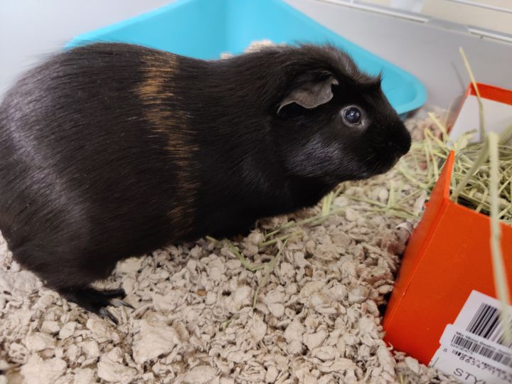 Oz, an adoptable Guinea Pig Mix in Bellingham, WA