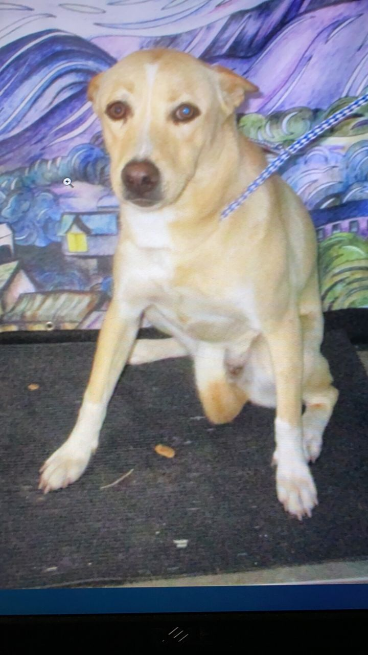 Lady, an adopted Labrador Retriever Mix in Clear Lake, IA