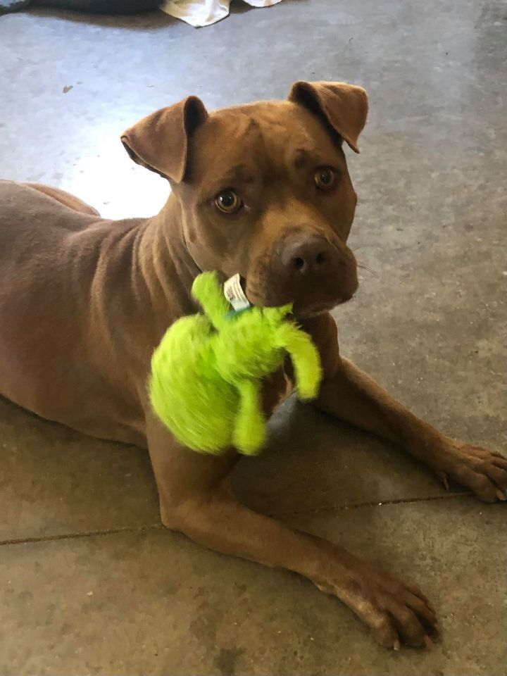 Coco, an adoptable Pit Bull Terrier in Clear Lake, IA