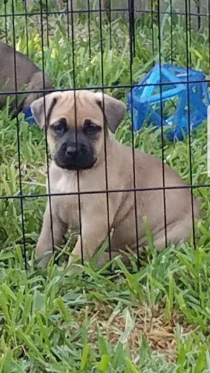 DORA Mastiff Dog