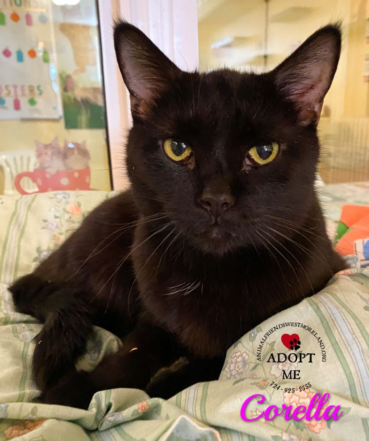 Corella, an adoptable Domestic Short Hair in Youngwood, PA