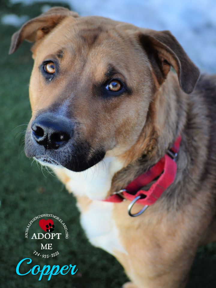 Copper, an adopted Shepherd Mix in Youngwood, PA