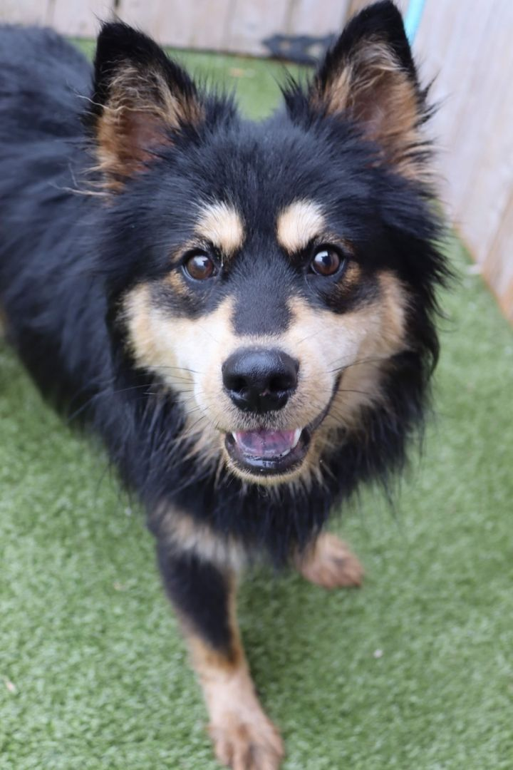 Rubius, an adoptable Chow Chow Mix in Springfield, MO_image-2