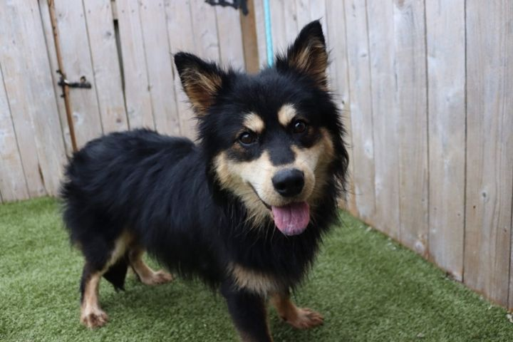 Rubius, an adoptable Chow Chow Mix in Springfield, MO_image-4