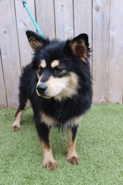 Rubius, an adoptable Chow Chow Mix in Springfield, MO_image-5