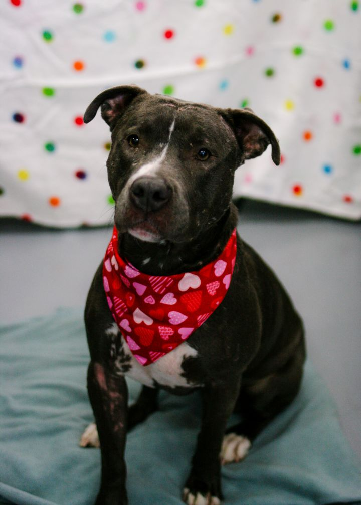 Jane, an adoptable Pit Bull Terrier Mix in Colorado Springs, CO
