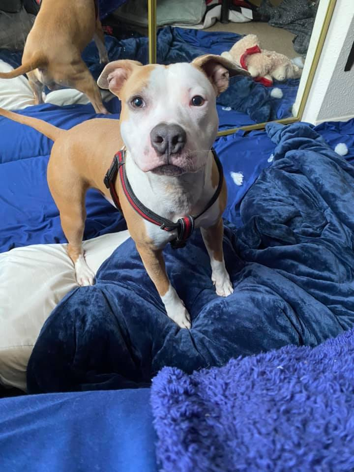 BoJack, an adoptable Pit Bull Terrier Mix in Greenville, NC