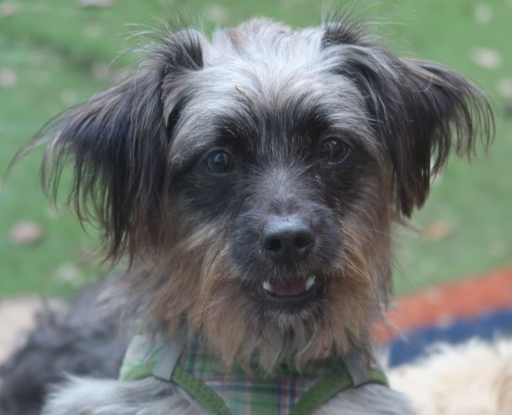 ALF!  Adorable, ENERGETIC Puppy, an adoptable Yorkshire Terrier & Affenpinscher Mix in St. Petersburg, FL_image-1