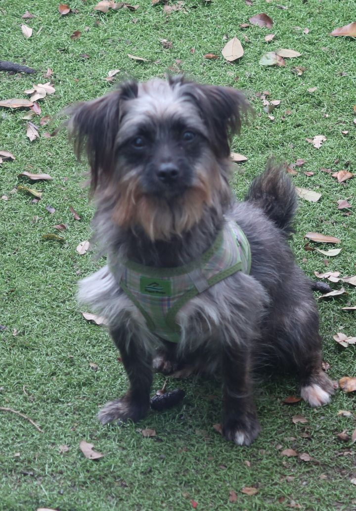 ALF!  Adorable, ENERGETIC Puppy, an adoptable Yorkshire Terrier & Affenpinscher Mix in St. Petersburg, FL_image-3