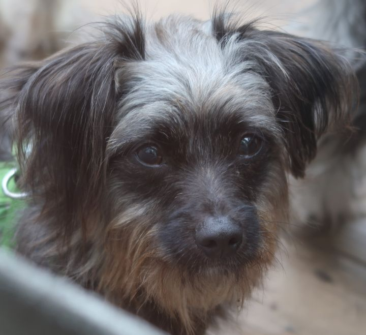 ALF!  Adorable, ENERGETIC Puppy, an adoptable Yorkshire Terrier & Affenpinscher Mix in St. Petersburg, FL_image-5