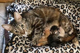 Foster Homes Needed for Pregnant Cats 1