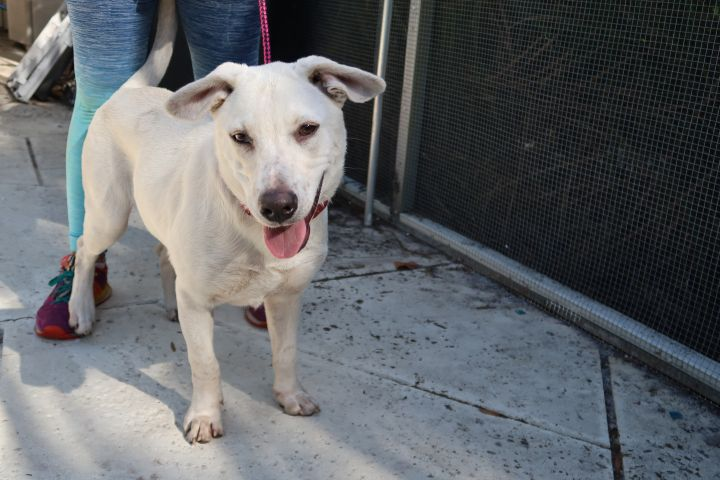 Jackfrost~A+ w Dogs!  HIGH IQ!, an adopted Labrador Retriever & White German Shepherd Mix in St. Petersburg, FL_image-2