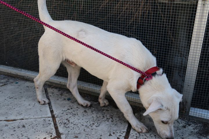 Jackfrost~A+ w Dogs!  HIGH IQ!, an adopted Labrador Retriever & White German Shepherd Mix in St. Petersburg, FL_image-4